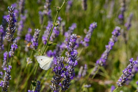Lavender plant with butterfly