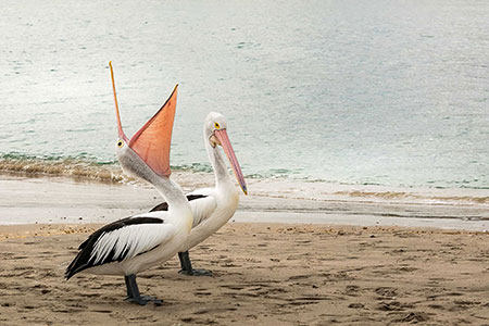 pelican photographs